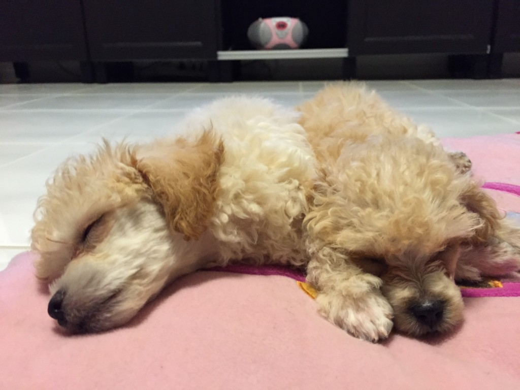 toy poodle dogs